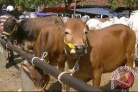 Populasi ternak sapi di Penajam meningkat