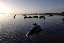 Ratusan paus mati terdampar di Selandia Baru