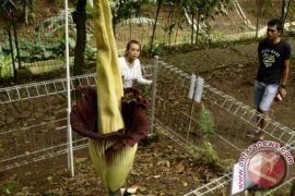 Bunga Bangkai dalam pot pertama di Kebun Raya Bogor berhasil mekar