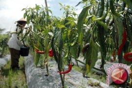 Petani Cabai Bangka Tengah Terancam Gagal Panen