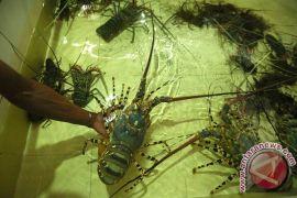 DKP minta nelayan kembangkan budidaya lobster