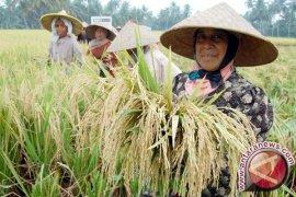 Petani Gagal Tanam Serentak di Aceh Utara