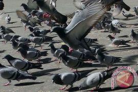 Peserta pilwako lepas burung merpati kampanye damai