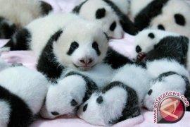 Indonesia-Tiongkok Bahas Lagi Pertukaran Komodo-Panda