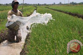 Petani bawang Bantul panen dini akibat banjir