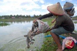 Pemkab Bangka Tengah Tabur Ikan di Kolam Lokasi PPMN