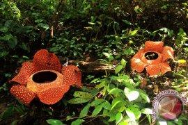 BKSDA Bengkulu-Lampung Larang Wisata Rafflesia Mekar