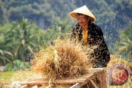 Bangka Selatan Targetkan Produksi Padi Enam Ton/Hektare