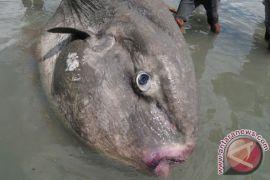 Unpatti - LPSDPL Sorong Teliti Penyebab Kematian Ikan Langka
