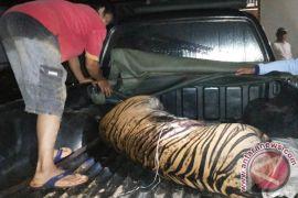 Harimau yang tewas terjerat diotopsi di Pekanbaru