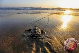 Ada Paket Wisata Melepas Tukik Ke Laut Lepas