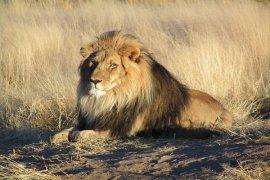 Ngeri, Ada pria tewas diterkam singa peliharaannya