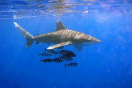 Ikan hiu jenis tutul terdampar dan mati jadi tontonan