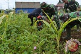 TNI di Aceh Barat Daya Panen Kacang Tanah