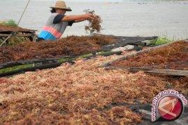 "Indonesia produsen rumput laut ""cottonii"" terbesar dunia"