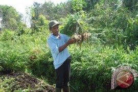 Petani Mempawah Timur Makin Sejahtera Dengan Jahe