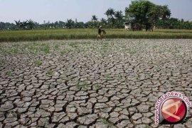 126 hektare tanaman padi di Cirebon puso
