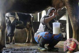 Banyuwangi kembangkan sapi perah di dataran rendah