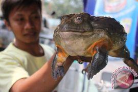 10 persen katak Indonesia terancam punah