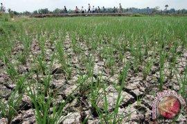 Kekeringan Menghantui Daerah Lumbung Padi Karawang