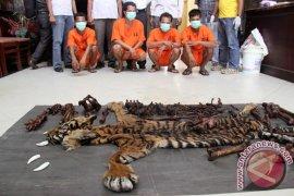 Polisi Tangkap Tiga Pemburu Harimau Sumatera