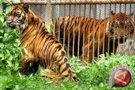 BKSDA: Harimau Sumatera Terancam Punah