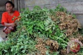Aceh Barat catat produktivitas kacang tanah menjanjikan