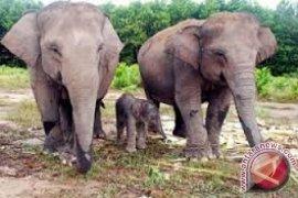 Gajah Di Tangkahan Lahirkan Bayi Betina