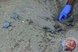 UPT Konservasi Pariaman tetaskan 17 ribu telur penyu
