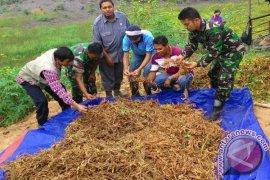 TNI Ikut Panen Kedelai di Sekadau