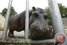 Kuda nil kerdil lahir di Taman Safari Indonesia
