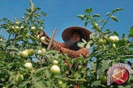 Makan apel dan tomat hijau bisa kembalikan kekuatan otot