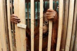 Raja Sanggau Siap Serahkan Orangutan