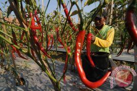 Petani lereng Merapi buang hasil panen cabai