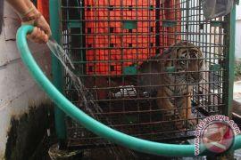 BKSDA Sumbar tunda evakuasi anak harimau sumatera
