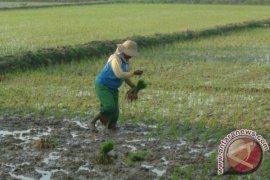 Petrokimia Masih Cek Kelangkaan Pupuk di Tuban