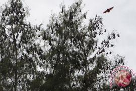 Peneliti temukan 6 jenis virus pada kelelawar buah di Indonesia