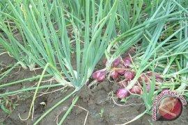 Potensi Bagus, Petani Karawang Beralih Tanam Bawang Merah