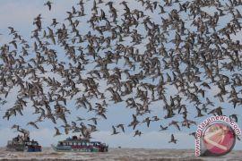 Jumlah burung migran di Danau Limboto bertambah