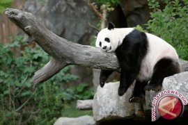Dua Panda Raksasa Bertolak Dari Chengdu ke Jakarta