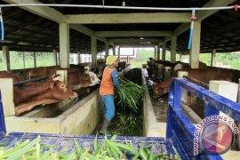 Lapsus - Balangan Berhasil Swasembada Daging Sapi Sejak 2014