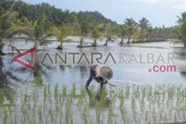 Pangdam Tanjungpura dan Gubernur Kalbar Tanam Padi