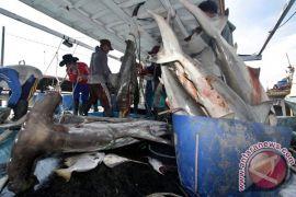 Polda Bali dalami penyelundupan ikan hiu