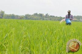 Dispertan Madiun : Produksi Padi Tidak Terganggu Cuaca