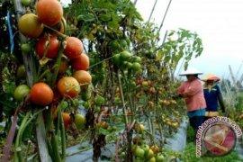 """Penyakit """"Phytophthora"""" Serang Tanaman Tomat Di Sukabumi"""