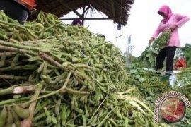 Petani Aceh Utara Tanam Kacang Hijau