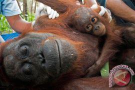 Polisi tetapkan lima tersangka penembakan Orangutan Kalimantan