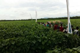 Petani Majalengka Andalkan Sayuran Sebagai Pendapatan