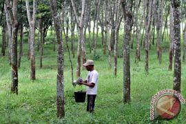 Warga Mukomuko didorong alihfungsikan sawit, karet tak produktif jadi sawah