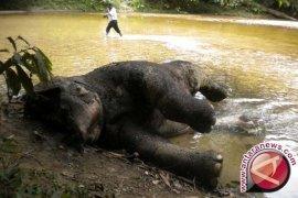 Gajah Sumatera ditemukan mati di Jambi